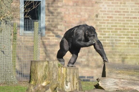A chimp in its enclosure at the Whipsnade Zoo.