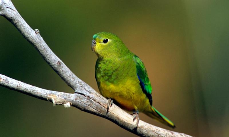 Orange bellied parrot: best year in a decade for critically endangered bird