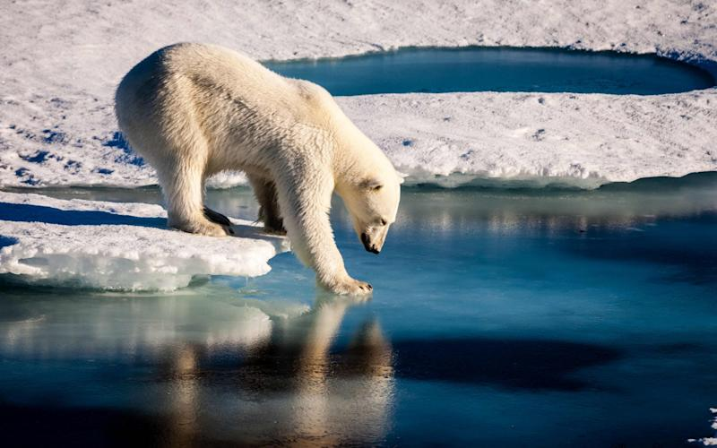 A polar bear tests the strength of thinning ice in the Arctic - AFP