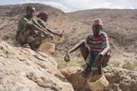 In this Tuesday, Aug. 2, 2016 photo, frankincense tree tappers sit in a canyon with their scrapers and baskets near Gudmo, Somaliland, a breakaway region of Somalia. The last wild frankincense forests on Earth are under threat as prices rise with the global appetite for essential oils. Overharvesting has trees dying off faster than they can replenish, putting the ancient resin trade at risk. (AP Photo/Jason Patinkin)