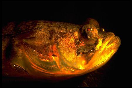 Singing fish: Unraveling the secrets of mysterious humming at night