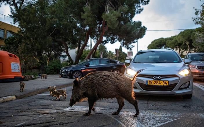 Not a zebra crossing: A sow crosses the road with its litter - DAN BALILTY /EYEVINE