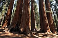 <p>Massive Redwood tree trunks spurt out of the ground at Sequoia National Park, California // October 11, 2009</p>
