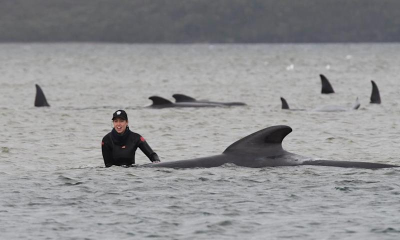 For the rescuers in the water, the most urgent job was to right and stabilise the whales' bodies, which can weigh up to three tonnes, to prevent them drowning.