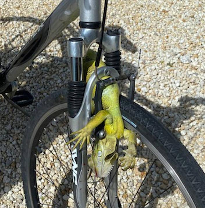 A 62-year-old Marathon man required stitches to his head Friday, July 10, 2020, after this iguana ran in front his bicycle and caused him to crash, police said.