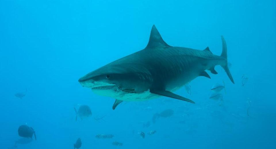 Tiger sharks are eating our songbirds (Getty)