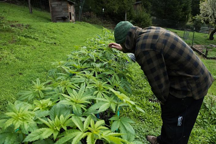 Brad bends down to inspect one of his medical marijuana plants on the farm. They'll be planted in the ground in April and harvested the following fall. (Photo: Deleigh Hermes for Yahoo News)