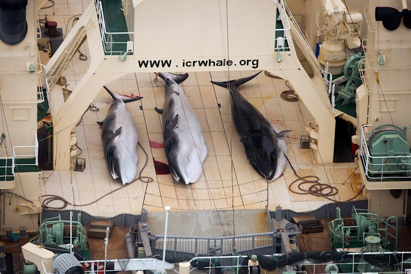 FILE - In this file photo taken on Sunday, Jan. 5, 2014 and supplied by Sea Shepherd Australia on Monday, Jan. 6, 2014, three dead minke whales lie on the deck of the Japanese whaling vessel Nisshin Maru, in the Southern Ocean. The International Court of Justice is ruling Monday on Japan's whaling program in Antarctic waters, in a case brought by Australia. Japan hunts around a thousand mostly minke whales annually in the icy waters of the Southern Ocean as part of what it calls a scientific program. Australia and environmental groups say the hunt serves no scientific purpose and is just a way for Japan to get around a moratorium on commercial whaling imposed by the International Whaling Commission in 1986. (AP Photo/Tim Watters, Sea Shepherd Australia) EDITORIAL USE ONLY, NO SALES