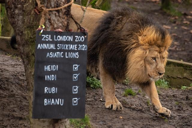 Asiatic Lion Bhanu walks past a blackboard during the stock-take