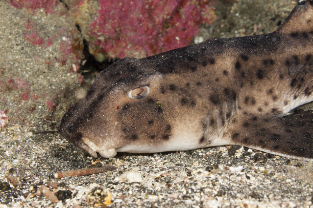 Thieves stole a horn shark, which is a species of bullhead shark seen above. (Photo: Prisma Bildagentur/UIG via Getty Images)