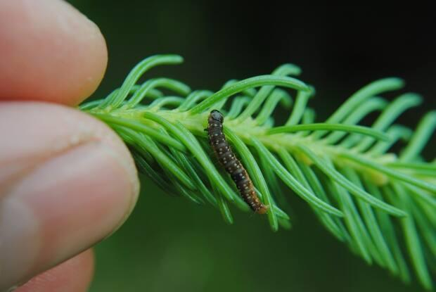 Spruce budworm can defoliate spruce and fir trees, and their numbers are rising in western Newfoundland. (Eric Moise/Canadian Forest Service - image credit)