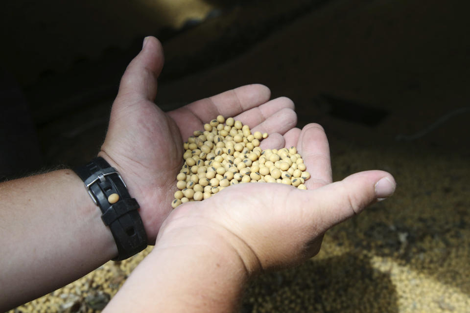 """FILE - In this July 18, 2018 file photo, a farmer holds soybeans from the previous season's crop at his farm in southern Minnesota. Most soy grown in the U.S. are conventional, herbicide-tolerant GMOs. Though regulators say GMOs are safe, health and environmental worries have persisted and companies will soon have to disclose when products have """"bioengineered"""" ingredients. (AP Photo/Jim Mone)"""