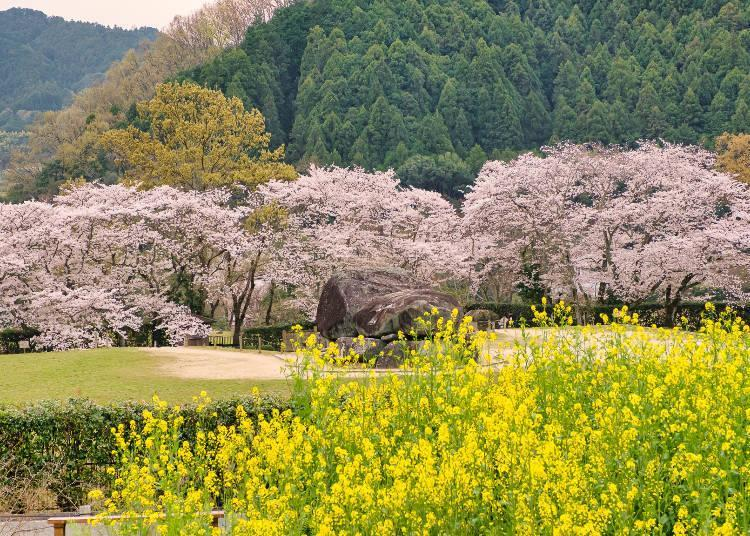 The combination of Nanohana and cherry blossoms is one of the area's highlights