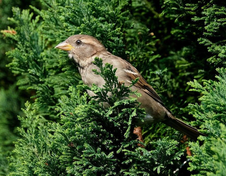 House sparrows will welcome the protection of an urban hedge (Alamy/PA)