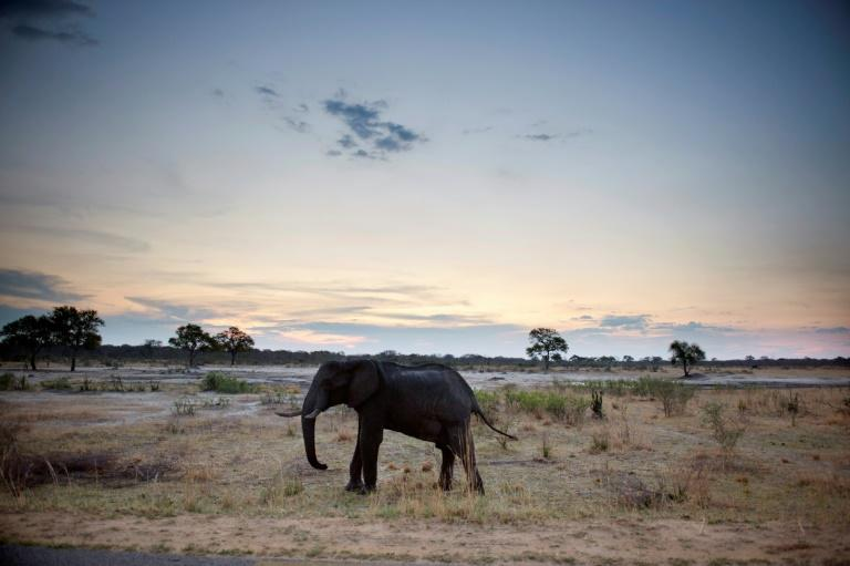 -An African elephant in Hwange National Park in Zimbabwe. A recent drought has led to at least 55 elephants dying