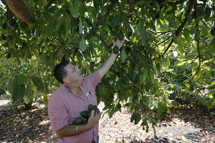 In this photo made Monday, June 3, 2013, farmer David Schwabauer, a partner/manager of Leavens Ranches, a fourth-generation avocado and lemon grower gathers avacados on the property in Moorpark, Calif. The Schwabauer family has been considering allowing energy companies to drill new exploratory wells in their orchards in Moorpark, but the trees in Moorpark rely on irrigation from a depleted aquifer, and the county is already in drought. (AP Photo/Damian Dovarganes)