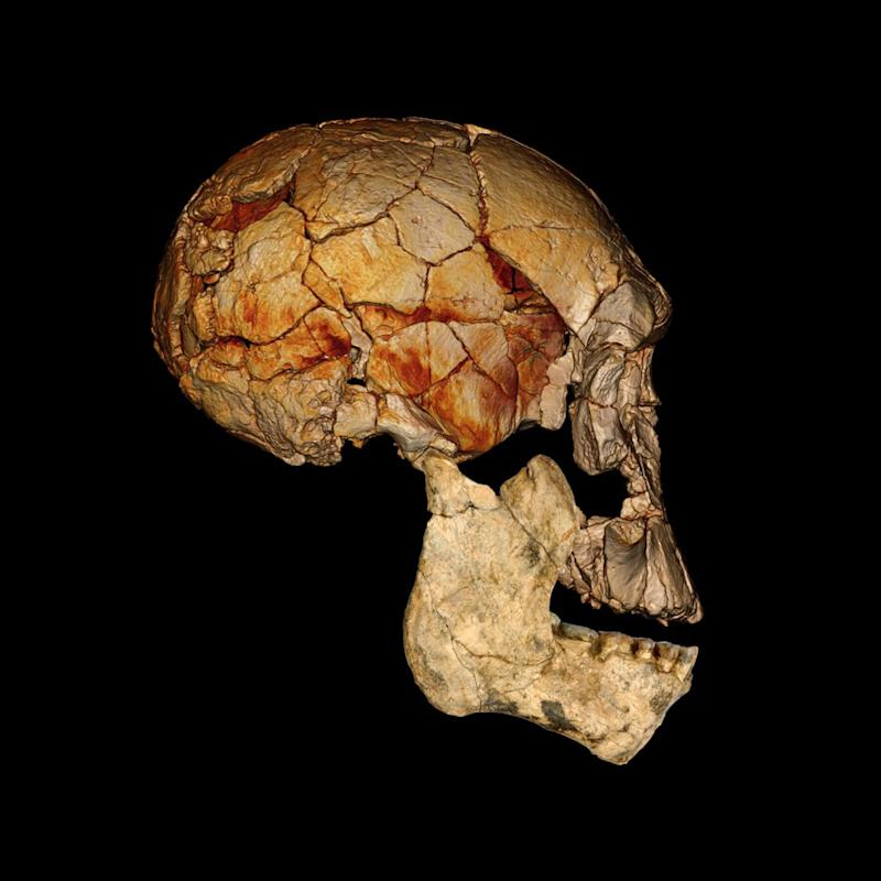 This undated handout image provided by National Geographic and Nature shows a computer enhanced image of a lower jaw, shown as a photographic reconstruction, and the cranium, based on a computed tomography scan of  of he KNM-ER 1470 cranium, discovered in 1972, combined with the new lower jaw KNM-ER 60000. A famous family of paleontologists says newly found fossils confirm their controversial theory that the human family tree may have sprouted some long-lost branches going back nearly 2 million years. Meave Leakey led a team of researchers in Kenya that claim what they dug up shows there once were two additional pre-human species besides the one that eventually led to modern humans. One of the researchers said these wouldn't be our direct ancestors, which are called Homo erectus, but more like very distant cousins. The study appears online Wednesday in the journal Nature. (AP Photo/Fred Spoor/National Geographic, Nature)