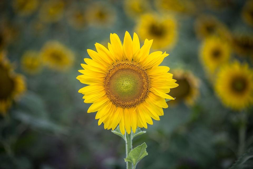 """<p>Sunflowers are real sun lovers, and their head follows the sun during the day making sure they get every bit of sunshine they can. At night the head turns to the east ready for the next morning's sunrise. This is known as 'heliotropism'.</p><p><a class=""""link rapid-noclick-resp"""" href=""""https://go.redirectingat.com?id=127X1599956&url=http%3A%2F%2Fwww.waitroseflorist.com%2Fshop-by-type%2Fbritish-sunflowers-563600&sref=https%3A%2F%2Fwww.housebeautiful.com%2Fuk%2Fgarden%2Fplants%2Fg22113752%2Fjuly-flowers-seasonal-bloom%2F"""" rel=""""nofollow noopener"""" target=""""_blank"""" data-ylk=""""slk:BUY NOW"""">BUY NOW</a></p>"""