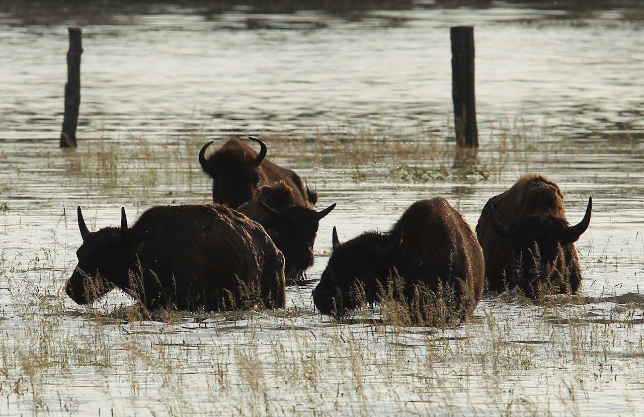 WUSTER DAMM, GERMANY - JUNE 11: Bison who had fled a nearby farm stand in floodwaters from the Elbe river on June 11, 2013 in Wuster Damm, Germany. About a half dozen villages in Stendal county and large tracts of farmland are inundated following the collapse of a dyke at nearby Fischbeck. Floods have ravaged portions of southern and eatsern Germany in the last week, leaving at least seven people dead and forcing thousands to evacuate their homes. (Photo by Sean Gallup/Getty Images)
