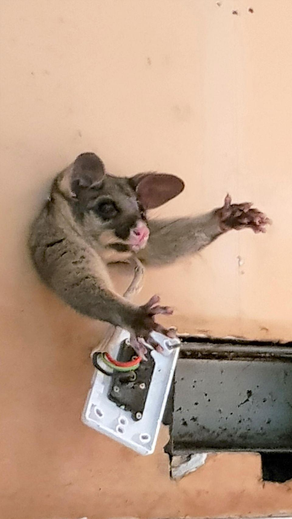 A Melbourne mum couldn't believe it when she walked into her kitchen and found a possum stuck in the wall. Photo: Caters News