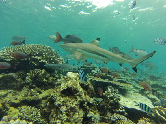 Sharks Need Healthy Coral Reefs, 10-Year Study Finds