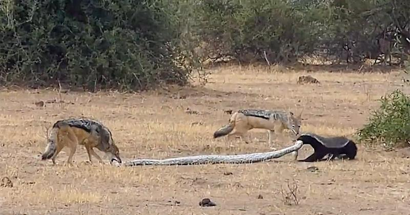Incredible Footage Shows Python, Honey Badger and a Pair of Jackals Viciously Fighting in Botswana