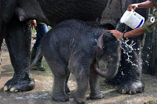 Their decline has been largely due to human-elephant conflict.