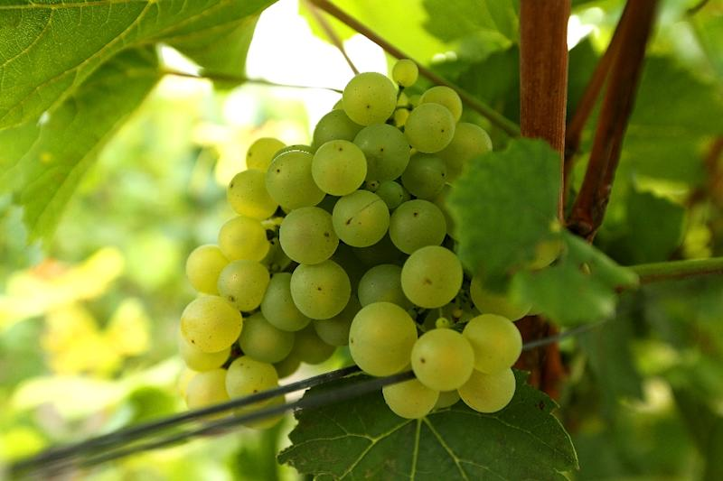"""""""Thirty years ago, it was impossible to ripen the Chardonnay grapes,"""" Foss said. """"But now there's no problem"""" (AFP Photo/FRANCOIS NASCIMBENI)"""