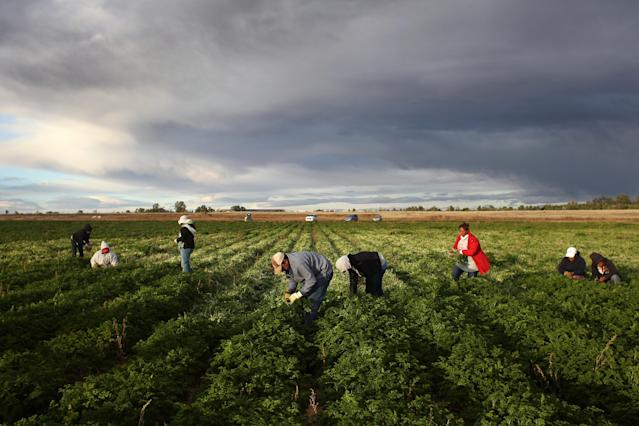 <p>Mexican migrant workers harvest organic parsley at Grant Family Farms on Oct. 11, 2011, in Wellington, Colo. Although demand for the farm's organic produce is high, Andy Grant said that his migrant labor force, mostly from Mexico, was sharply down that year and he was unable to harvest as much as a third of his fall crops, leaving vegetables in the fields to rot. He said that stricter U.S. immigration policies nationwide have created a climate of fear in the immigrant community, and many workers have either gone back to Mexico or been deported. Although Grant requires proof of legal immigration status from his employees, undocumented migrant workers frequently obtain falsified permits to work throughout the U.S. Many farmers nationwide say they have found it nearly impossible to hire American citizens for seasonal labor-intensive farm work. (Photo: John Moore/Getty Images) </p>