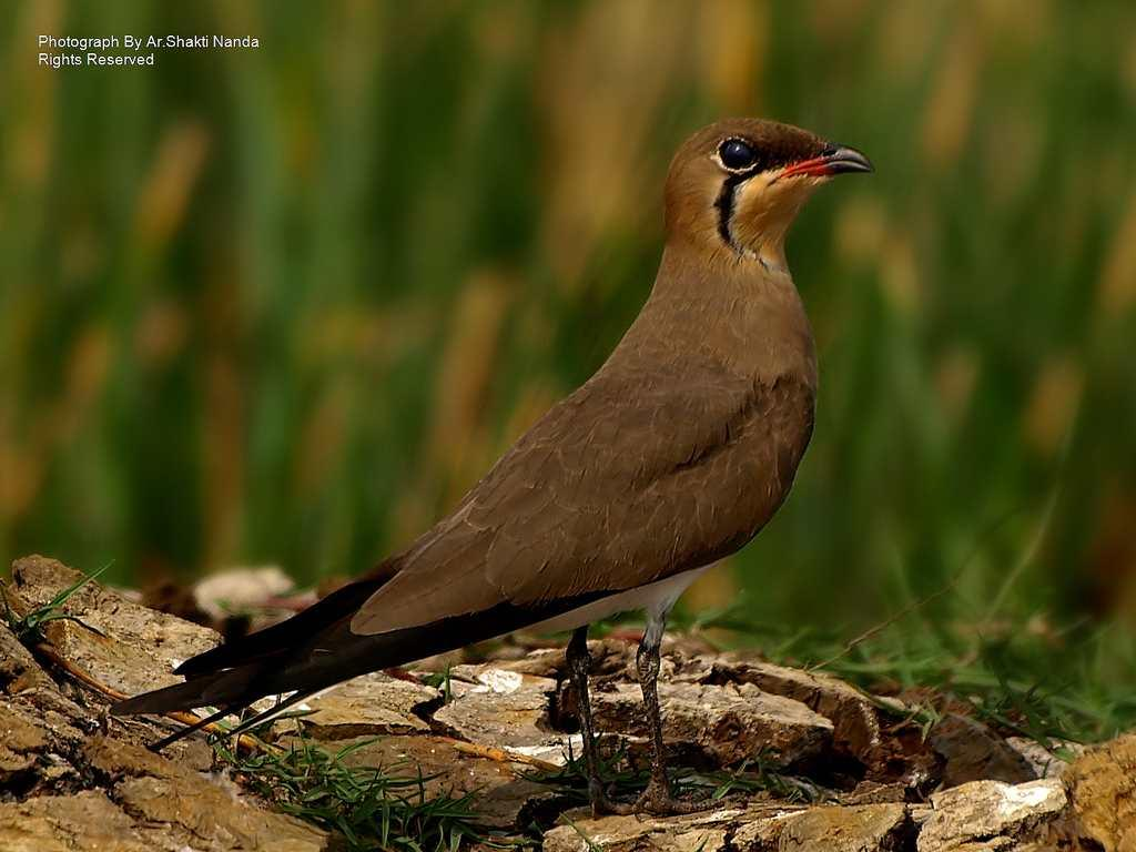 The <strong>Oriental Pratincole</strong> (<em>Glareola maldivarum</em>) is a wader that migrates locally in large numbers.