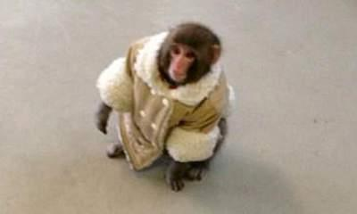 Ikea Monkey Darwin Rehomed After Shop Visit