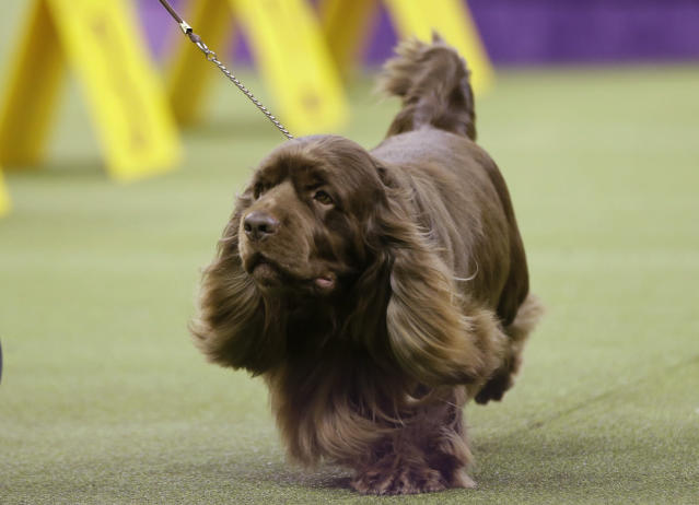 Bean, a Sussex spaniel, competes with the sporting group at the 143rd Westminster Kennel Club Dog Show Tuesday, Feb. 12, 2019, in New York. Bean won the sporting group. (AP Photo/Frank Franklin II)