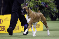 Wilma, the boxer, competes during 144th Westminster Kennel Club dog show, Tuesday, Feb. 11, 2020, in New York. (AP Photo/John Minchillo)