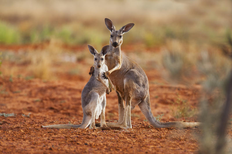 Dror Ben-Ami has found joeys are reliant on their mothers for a year and a half. Getty