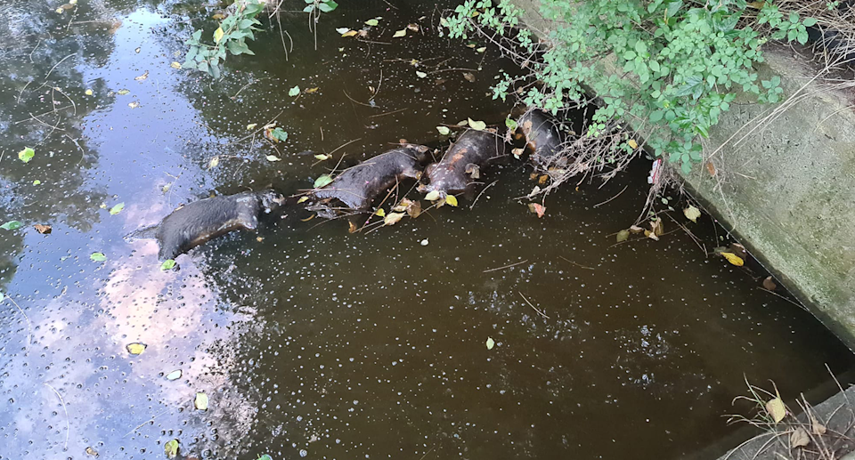 Several dead possums floating in a canal at Kurnell. Source: Supplied