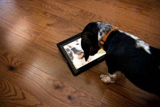 """""""Bandit"""" watches Dog TV in Washington, DC. Studies have indicated that 60 to 70 percent of Americans already leave a television or radio on when they leave their dogs alone"""