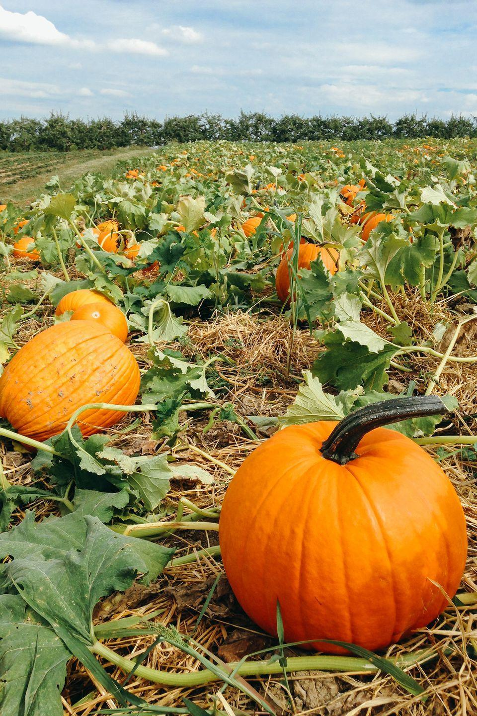 """<p><a href=""""https://mccallpumpkinpatch.com/"""" rel=""""nofollow noopener"""" target=""""_blank"""" data-ylk=""""slk:McCall's"""" class=""""link rapid-noclick-resp"""">McCall's</a> has it all! With an impressive pumpkin patch, 16-acre corn maze, scenic hay rides, produce market, and more, you can check everything off your <a href=""""https://www.countryliving.com/life/g2633/fall-bucket-list/"""" rel=""""nofollow noopener"""" target=""""_blank"""" data-ylk=""""slk:fall bucket list"""" class=""""link rapid-noclick-resp"""">fall bucket list</a> in one place.</p><p><a class=""""link rapid-noclick-resp"""" href=""""https://go.redirectingat.com?id=74968X1596630&url=https%3A%2F%2Fwww.tripadvisor.com%2FAttraction_Review-g47127-d11444328-Reviews-McCall_s_Pumpkin_Patch-Moriarty_New_Mexico.html&sref=https%3A%2F%2Fwww.countryliving.com%2Flife%2Ftravel%2Fg21273436%2Fpumpkin-farms-near-me%2F"""" rel=""""nofollow noopener"""" target=""""_blank"""" data-ylk=""""slk:PLAN YOUR TRIP"""">PLAN YOUR TRIP</a></p>"""
