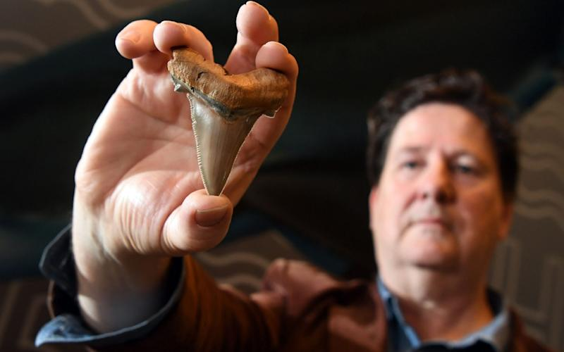 Fossil enthusiast Philip Mullaly holds a giant shark tooth - evidence that a shark nearly twice the size of a great white once stalked Australias ancient oceans - at the Melbourne Museum on August 9, - AFP
