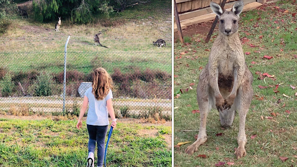 Animal advocates say the kangaroo cull in Lilydale should not go ahead. Source: Supplied