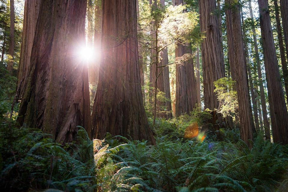 "<p>The sun shines through the <a href=""https://www.tripadvisor.com/Attraction_Review-g2193168-d210214-Reviews-Redwood_National_Park-Redwood_National_Park_California.html"" rel=""nofollow noopener"" target=""_blank"" data-ylk=""slk:Redwood Forest"" class=""link rapid-noclick-resp"">Redwood Forest</a>, home to the tallest trees on this planet. These massive wonders tower at a whopping 370 feet tall—or five stories taller than the Statue of Liberty. </p>"