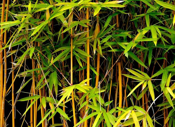 """<body> <p>Bamboo's hardness and rapid growth characteristics make it one of the world's most renewable building resources. But that doesn't necessarily make it a viable option for your garden. Before long, you'll find your yard—and quite possibly your neighbor's yard—overrun with a bamboo privacy screen that could take years to eradicate. If you must grow bamboo, do it in large landscaping <a rel=""""nofollow noopener"""" href="""" http://www.bobvila.com/slideshow/10-totally-unexpected-things-to-remake-as-planters-48688#.VWzB-2RViko?bv=yahoo"""" target=""""_blank"""" data-ylk=""""slk:planters"""" class=""""link rapid-noclick-resp"""">planters</a>.</p> <p><strong>Related: <a rel=""""nofollow noopener"""" href="""" http://www.bobvila.com/slideshow/living-fences-11-boundary-setting-solutions-47520#.VWzB0WRViko?bv=yahoo"""" target=""""_blank"""" data-ylk=""""slk:Living Fences - 11 Boundary-Setting Solutions"""" class=""""link rapid-noclick-resp"""">Living Fences - 11 Boundary-Setting Solutions</a> </strong> </p> </body>"""