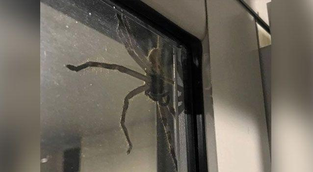 A spider the size of a dinner plate has terrorised a Queensland family
