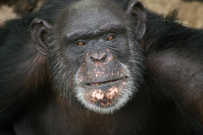 This undated image provided by Chimp Haven, Inc. shows Brent, a chimpanzee at Chimp Haven in Keithville, La. The 37-year-old chimpanzee who paints with his tongue has won $10,000 for a sanctuary in northwest Louisiana, as the top vote-getter in an online chimp art contest organized by the Humane Society of the United States. Brent was unavailable for comment. Chimp Haven president Kathy Willis-Spratz says the money will go toward construction to prepare the sanctuary in Keithville for chimpanzees being retired from a lab in New Iberia. (AP Photo/Chimp Haven, Inc.)