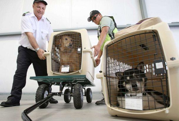 PHOTO: President and CEO Don Weisel helps load pets for take-off on the southern California maiden voyage of Pet Airways on July 16, 2009 in the Los Angeles-area city of Hawthorne, California. (David Mcnew/Getty Images)