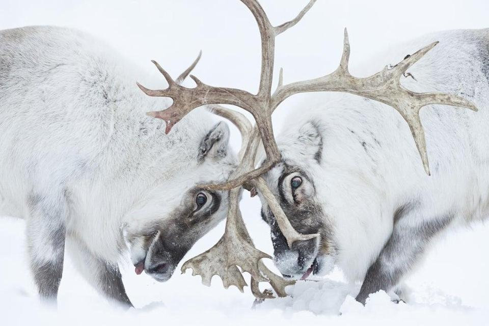 Head to head by Stefano Unterthiner won the Wildlife Photographer of the Year: Behaviour: Mammals Award (Stefano Unterthiner/Wildlife Photographer of the Year/PA) (PA Media)