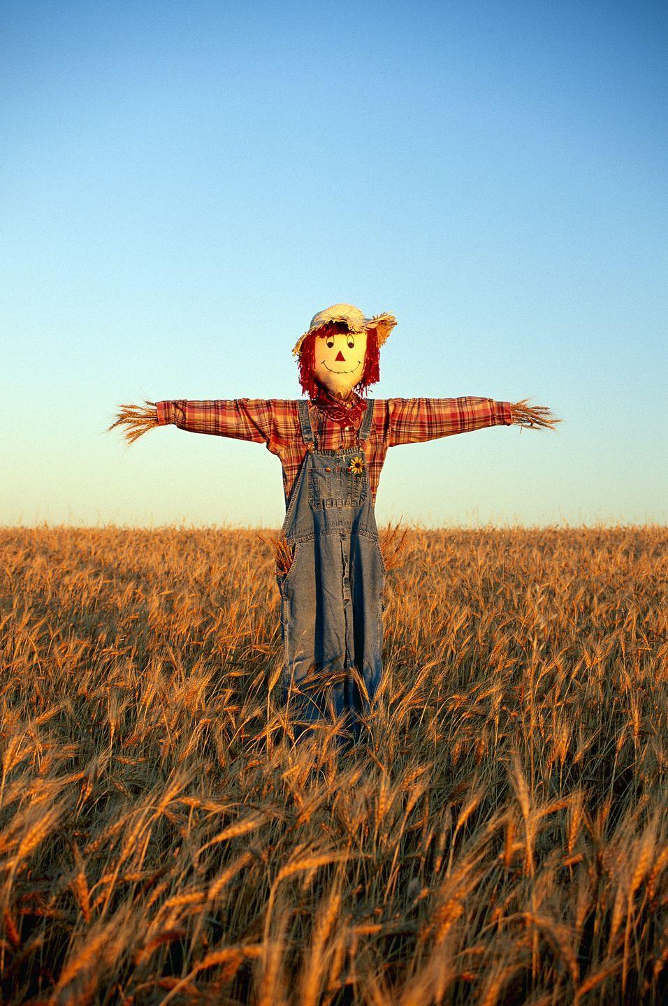 <p><strong><em>Which of the following is NOT a term for a scarecrow? Hodmedod, Murmet, Doodle sack, Hay-man, Gallybagger, Tattie Bogal, Mommet, Mawkin, Bwbach<strong>.</strong></em></strong></p><p><strong><strong>Answer:</strong> </strong>Doodle Sack. Which is an English word for a bagpipe. Either way you look at it, while the Scarecrow may not have had a heart, he does go by a lot of names!<strong><br></strong></p>