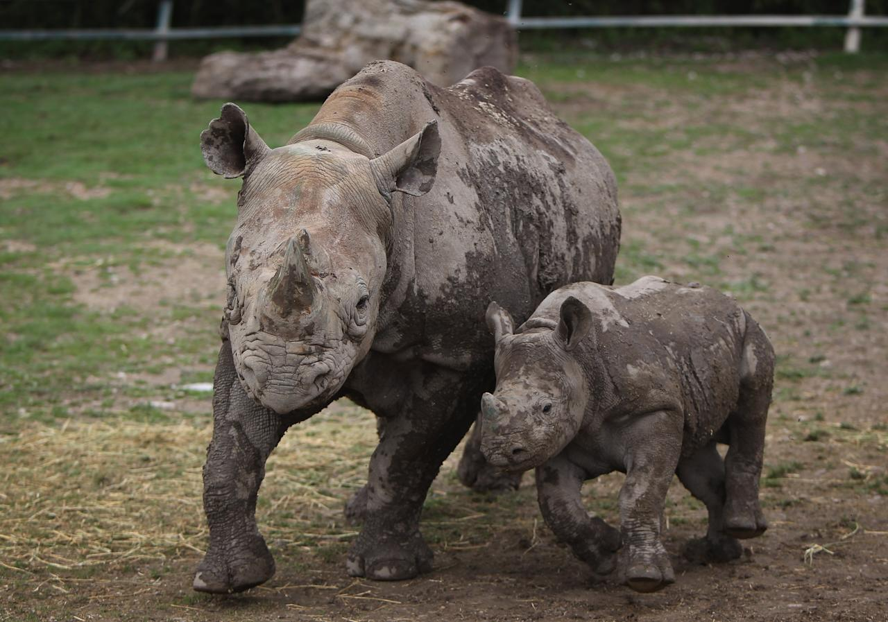 HYTHE, ENGLAND - JUNE 21:  A 6 month old Black Rhino calf stands with its mother in its enclosure at Lympne Wild Animal Park on June 21, 2011 in Hythe, England. Port Lympne has welcomed a host of new arrivals this year with wildebeest, colobus monkeys, gorillas and rhinos all adding to the current stock. Port Lympne and Howletts Wild Animal parks were set up by the late John Aspinall to protect and breed rare and endangered species and, where possible, return them to safe areas in the wild. The Aspinall Foundation which runs the parks also manages two gorilla rescue and rehabilitation projects in the central African countries of Gabon and Congo where they have successfully reintroduced over 50 gorillas to the wild.  (Photo by Dan Kitwood/Getty Images)