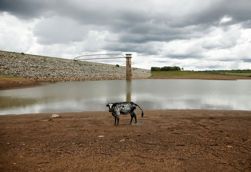 FILE PHOTO: A cow stands on caked mud before a small patch of water at a dam near Bulawayo
