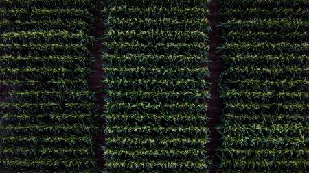An aerial view shows a corn research field where a trial is being conducted on a particular variety of corn in College Station, Texas, U.S., May 22, 2018. Picture taken on May 22, 2018. REUTERS/Adrees Latif