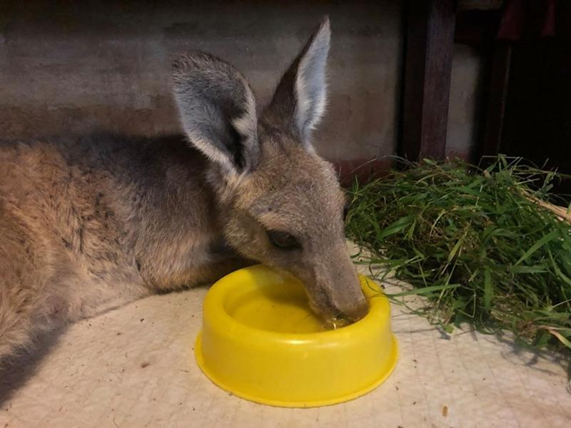The mother kangaroo having a drink of water from a yellow bowl after she woke up.